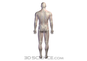 skeletal_male_posterior_web copy.jpg 